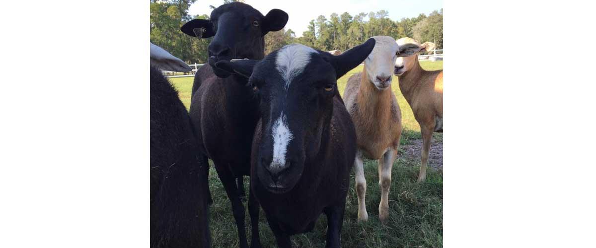 Livestock - Plantation Oaks Farms Wedding Venue
